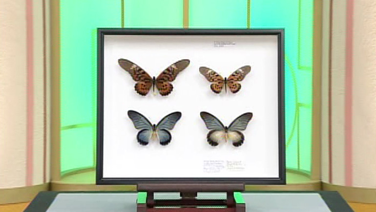 蝶の標本 4頭